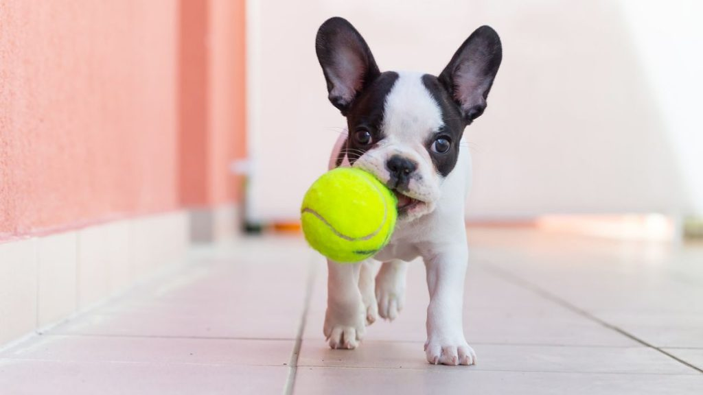 Dont Let Your Dog Play With Tennis Balls